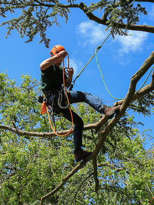 Picture of our employee up in a tree trimming large and dead branches in Lafayette, IN